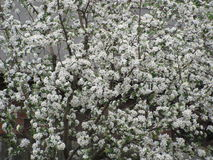 Apple blossom. Apple - the real glory of the garden. Apple is not high, thin, slender, with sprawling branches and smooth trunk. Its leaves on one side smooth royalty free stock photos