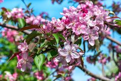 Apple blossom red. Red branch of flowering Apple tree against the sky Royalty Free Stock Images