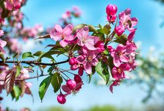 Apple blossom red. Branch of red flowering Apple trees on the street Stock Photography