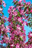 Apple blossom red. Branches of blooming red apple on blue sky background Stock Photography