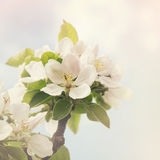 Apple blossom retro style processing Stock Photography