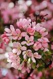 Apple blossom Royalty royalty free stock photo