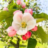 Apple blossom season Stock Photos