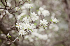 Apple blossom. With selective focus Stock Photography