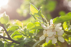 Apple Blossom in the settings sun Stock Photography