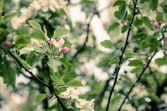 Apple Blossom in the settings sun Royalty Free Stock Photos