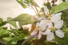 Apple Blossom in the settings sun Stock Image