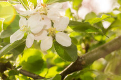 Apple Blossom in the settings sun Stock Photos