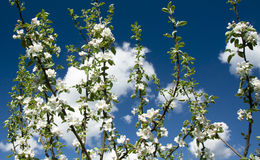 Apple blossom on sky background. Garden on spring Royalty Free Stock Photo