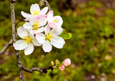 Apple blossom. Small flowering apple tree in spring Royalty Free Stock Photography
