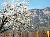 Apple blossom in South Tyrol Royalty Free Stock Images