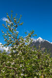 Apple blossom in South Tyrol Stock Photos