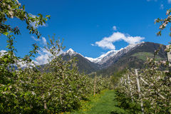 Apple blossom in South Tyrol Royalty Free Stock Image