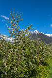 Apple blossom in South Tyrol Stock Photography