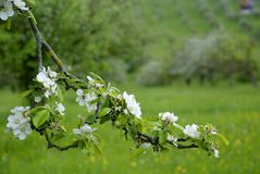 Apple blossom on spring Stock Photos