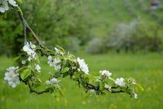 Apple blossom on spring Stock Photos