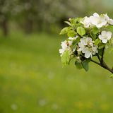 Apple blossom on spring Stock Images