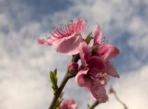 Apple Blossom In Spring. Apple Blossom against the blue sky Royalty Free Stock Photos