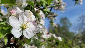 Apple blossom Royalty Free Stock Image