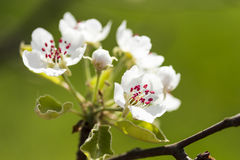 Apple blossom Stock Image