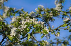 Apple Blossom in Spring stock images