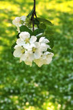 Apple Blossom, Spring background Stock Photography