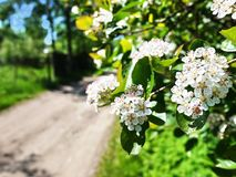 Apple blossom in spring. Beautiful nature in spring.  Details stock photography