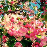 Apple blossom in spring Stock Photos