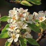 Apple blossom Stock Image
