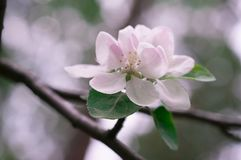 Apple blossom in spring on a clear day stock photos