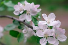 Apple blossom in spring on a clear day stock photo