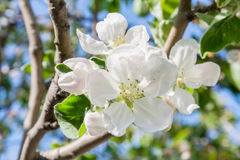 Apple blossom in the spring. Close up Stock Images