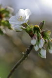 Apple Blossom. Spring emergence of white apple blossom Stock Photography