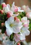 Apple blossom. Spring, flower, pink, white, branch, garden, park, warm, apple, blossom, ukraine, sunny, bud, spring apple blossom royalty free stock photography