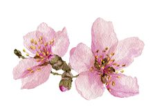 The Apple blossom. Spring flowers are pink. royalty free illustration