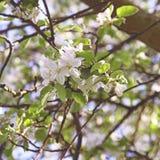 Apple blossom. Spring in a garden. Royalty Free Stock Photos