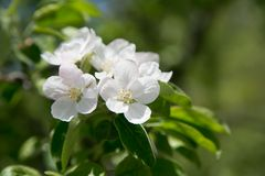 Apple blossom. Spring apple blossom on the green leafs background Stock Images