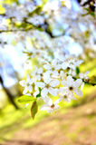 Apple blossom tree in spring season Royalty Free Stock Photo