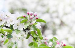 Apple blossom spring time sunny day garden landscape. Blossoming white pink petals fruit tree branch, tender blurred stock image