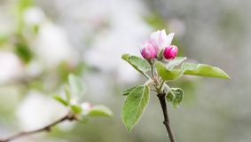 Apple blossom spring time sunny day garden landscape. Blossoming white pink petals fruit tree branch, tender blurred stock images