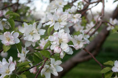 Apple Blossom in Spring Stock Image