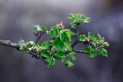 Apple blossom in the spring, very close up royalty free stock photo