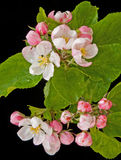 Apple blossom in springtime. Stock Photos
