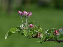 Apple blossom `James Grieve`. Apple blossom in Springtime of `James Grieve Royalty Free Stock Images