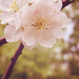 Apple Blossom Time. Blossoming apple flowers in spring - retro filter. Stock Images