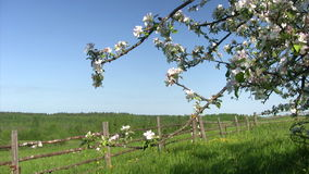 Apple blossom time Royalty Free Stock Photography