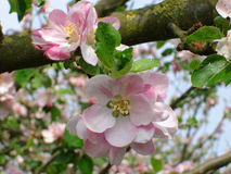Apple blossom. Traditional variety apple blossom growing on bough Stock Photography
