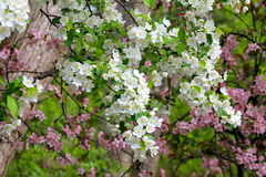 Apple Blossom Tree. White and Pink Apple Blossom tree Royalty Free Stock Photos