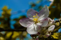 Apple blossom tree. In the garden with sunlight and blue sky background stock images