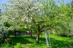 Apple blossom tree stock image